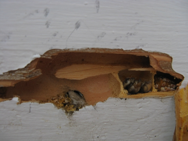 carpenter bee chambers
