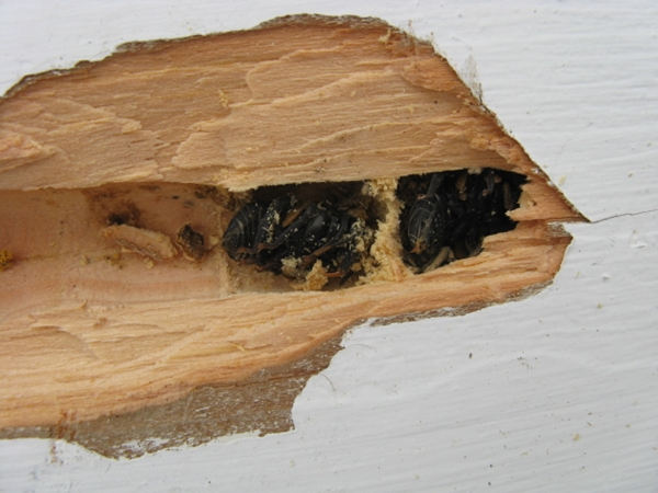 carpenter bee chamber
