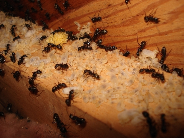 carpenter ant colony