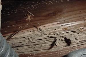 termite activity
